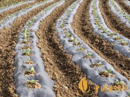 烟叶种植注意事项 不同移栽期对烤烟的生长和产质量的影响