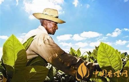 烟叶是属于什么植物 烟叶的起源和发展历史分析
