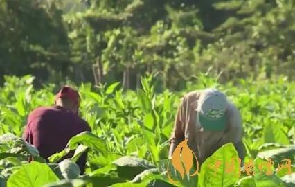津巴布韦计划开发抗旱烟草品种