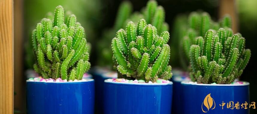 抽烟的房间放什么植物好 抽烟家里需要什么植物(5种)