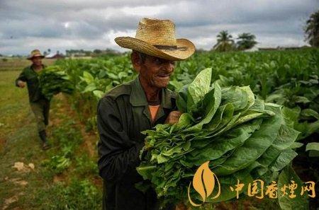 烟草什么时候传入中国 烟草在中国的传播方式