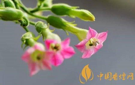 烟草花图片及花语 烟叶树也能开出美丽的花