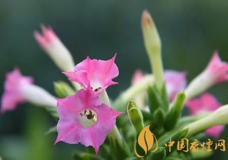 <b>烟草花是什么 烟草花的属性和花期介绍</b>