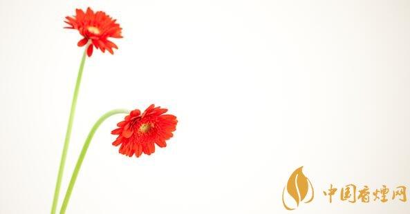 什么花吸烟效果最好 吸尼古丁最好的植物(非洲菊)