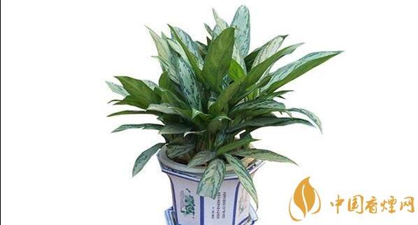 室内吸烟摆放什么植物 六种吸收尼古丁的植物