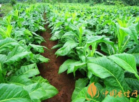 2018年农民种植烟叶违法吗 有销路、能挣到钱吗?